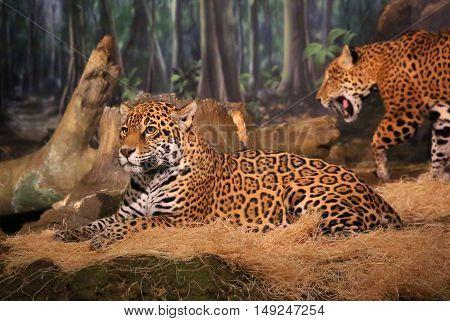 Female Jaguar big cat reclining and relaxing