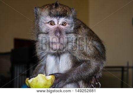 Monkey Eats A Pear