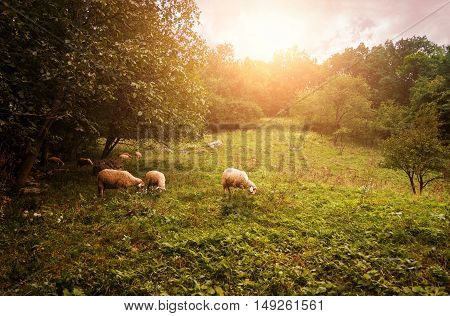 Group of sheep grazing grass on pasture on a meadow.