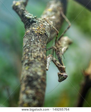 Praying Mantis Camouflaged
