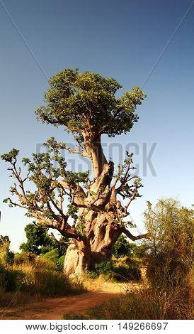 Landscape with giant Baobab tree Dakar Senegal