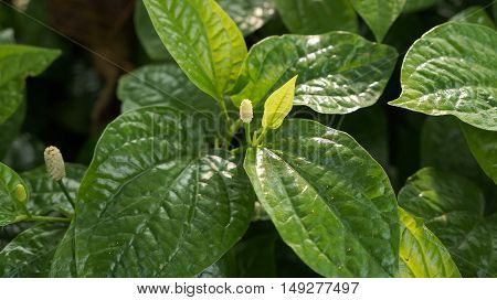Thai call Baichaplu : Wildbetal Leafbush (Piper sarmentosum Roxb.) Herbal and medicine