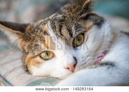 Close up of beautiful calico cat looking around