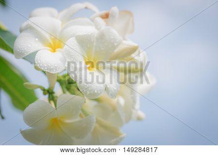 white frangipani tropical flower plumeria flower blooming on tree spa flower.
