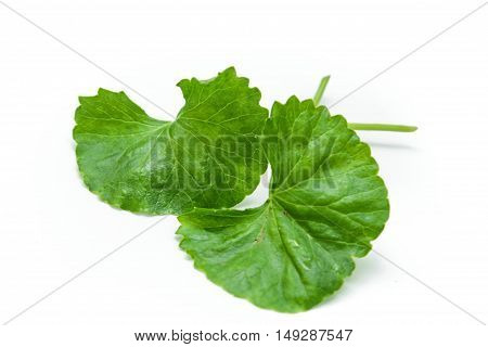 Indian pennywort (Centella asiatica (L.) Urban.) brain tonic herbal plant