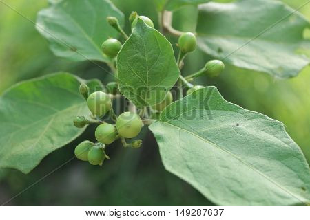 fresh Turkey berry, Pea Eggplant in the garden