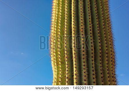 Giant Saguaro Cactus at sunset, near Phoenix, Arizona
