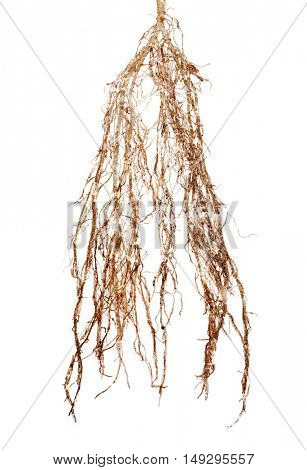 old plant root isolated on white background