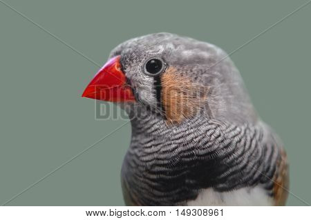 Portrait of cute zebra finch Taeniopygia guttata