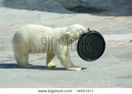 Little white bear