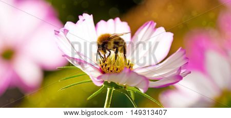 White cosmea flower with a bee on it in summer season .Bee on Cosmos flower isolated.Bee working on white cosmos flower.