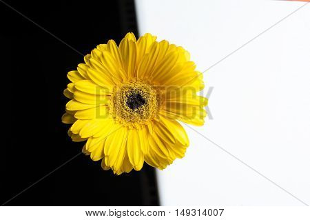 yellow gerbera flower on a white and black background.