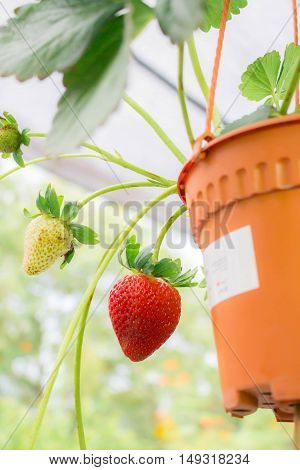 strawberry tree in pot the purpose of this picture is to show growing the strawberry can do at home