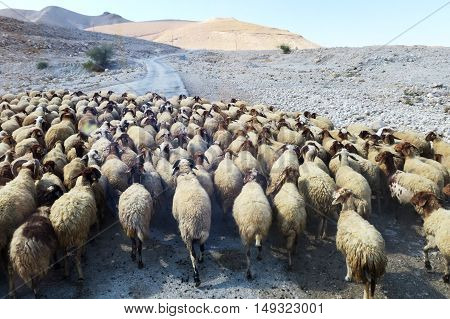 Large flock of sheep walking along a road in the desert in Israel