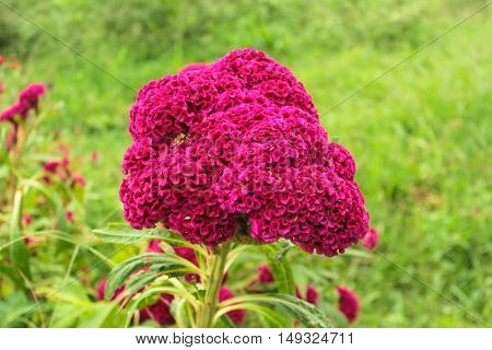 Cockscomb flowers plant in garden, Pink and White Color, Soft Focus