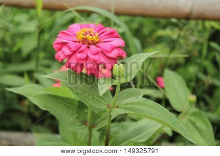 Chrysanthemum indicum Linn. Or Chrysanthemum morifolium Ramat, trees.