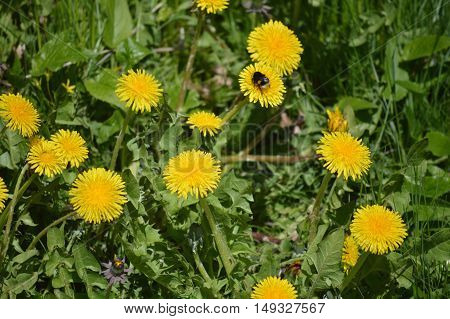Fresh leaves flowers of dandelion and bee