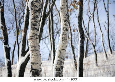 Birch At Winter Forest