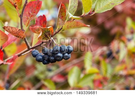 Ripe chokeberry in autumn garden. Black chokeberries on colorful autumn leaves background. Photo with selective focus and copy space. Black chokeberry or aronia melanocarpa. Branch of black chokeberry