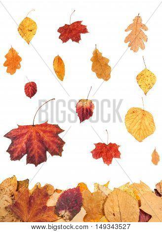 Autumn Leaves Falling On Leaf Litter