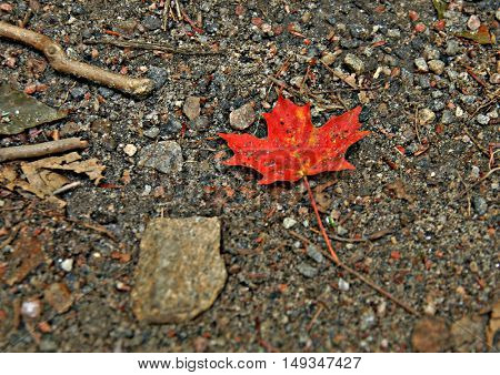 Single red maple leaf on forest ground