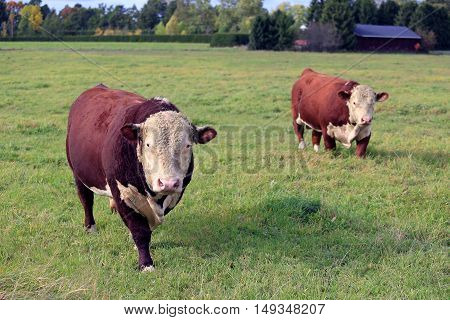 Two large curious Hereford bulls on green meadow in early autumn.