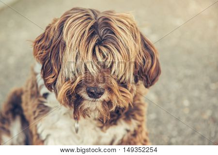Lhasa Apso old female dog outdoor portrait
