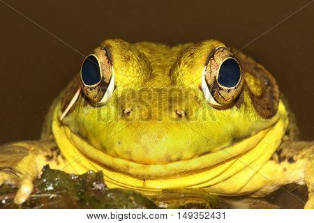 Close-up of a Green Frog (Rana clamitans) sunning in summer