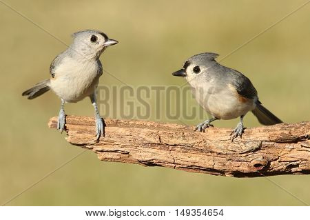 Pair of Tufted Titmice (baeolophus bicolor) on a branch with a green background