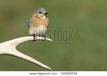 Female Eastern Bluebird (Sialia sialis) on a deer antler with a green background