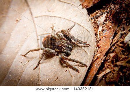 Tarantula on a leaf in the rainforest