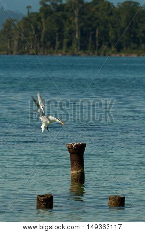 Seagull Landing on a beton thing seen in costa rica.