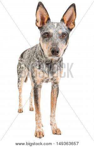 Blue Heeler puppy isolated on white background