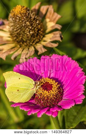 Yellow Butterfly Sits On Pink Bloom