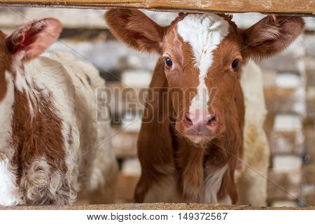 Red baby cow calf standing at stall at farm countryside