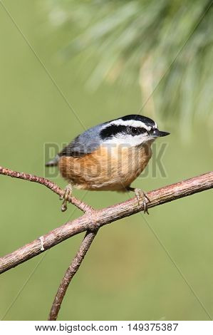 Red-breasted Nuthatch (sitta canadensis) on a perch with a green background