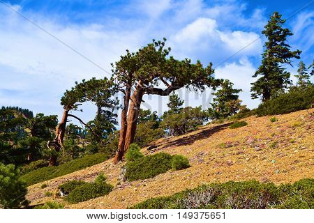 Weathered Pine Trees shaped by the wind on a mountain ridge taken in Mt Baldy, CA
