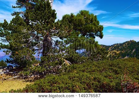 Pine trees and plants taken on a mountain ridge in Mt Baldy, CA