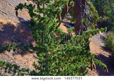 Pine Trees with cones taken at a forest in Mt Baldy, CA
