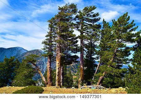 Pine Trees shaped and weathered by the wind taken on a mountain ridge in Mt Baldy, CA
