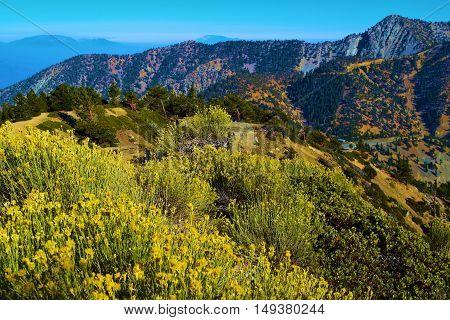 Sage Plant Flower Blossoms taken on a mountain ridge taken in Mt Baldy, CA