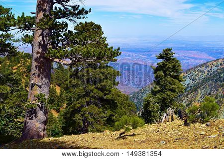 Pine Tree Forest overlooking the Mojave Desert taken in Mt Baldy, CA