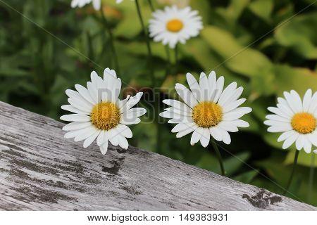 white daisies in full bloom against wood fencing