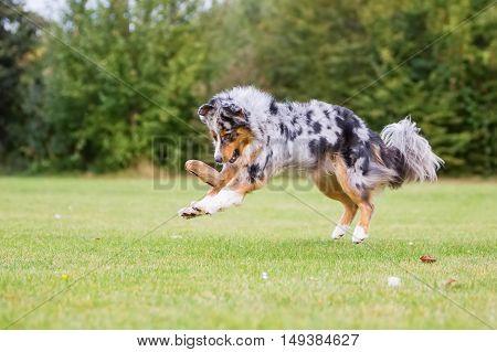 Dog Runs And Jumps For A Food Bag