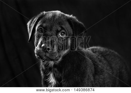 Black and white portrait of adorable rottweiler puppy