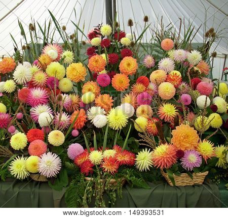 A display of flowers from a horticultural flower show exhibit. Image taken in a marquee.