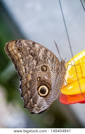 Close up of owl Butterfly (Caligo sp.) feeding from an orange