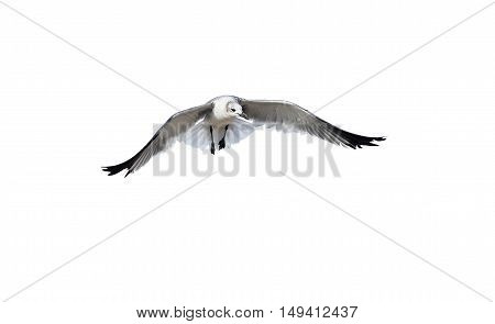 Bird flying isolated on white is a white bird captured spreading its wings like an ethereal angel.