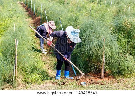 Farmer grass shear vegetable with hoe in thailand countryside.