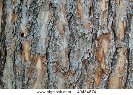 Background of a cedar tree bark in a park
